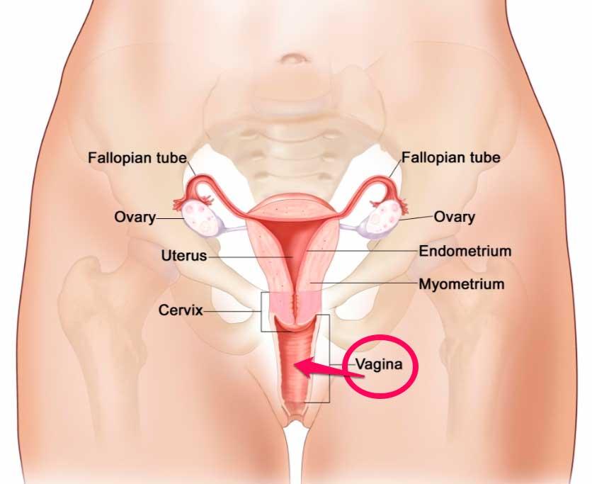 imagen aparato reproductor mucus cumlaude