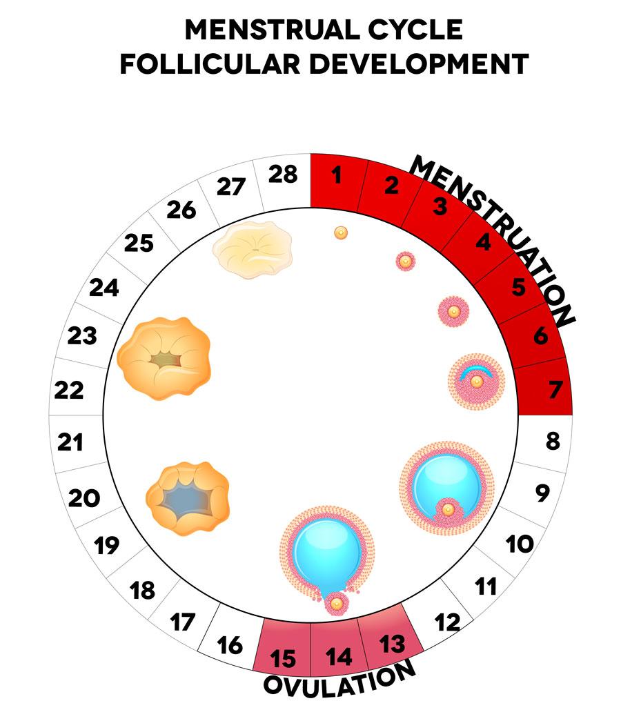 todo lo que ocurre en la fase folicular